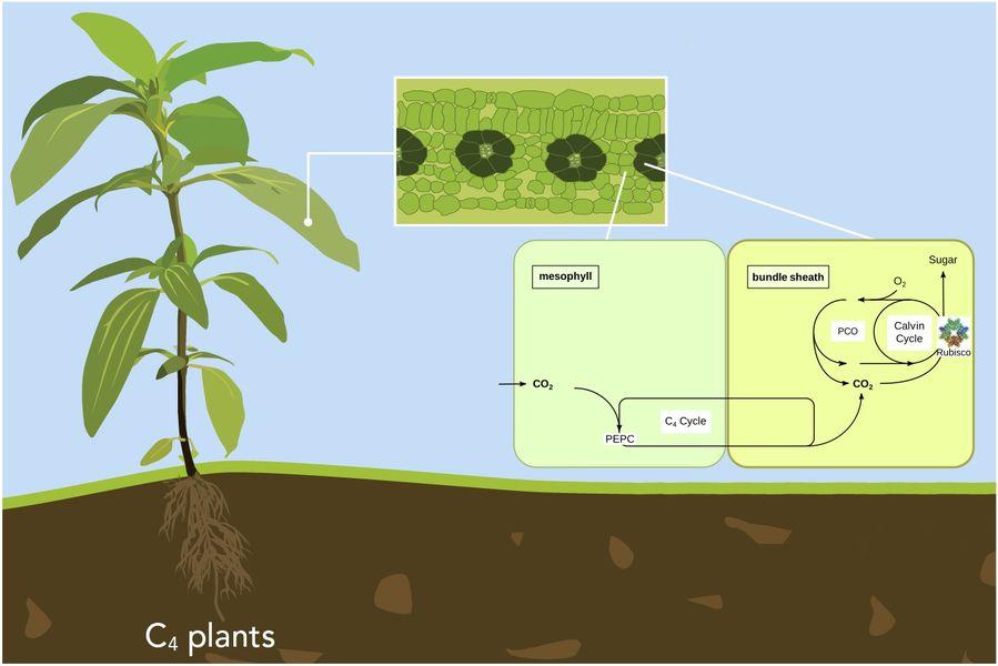 Photosynthese Pflanzen